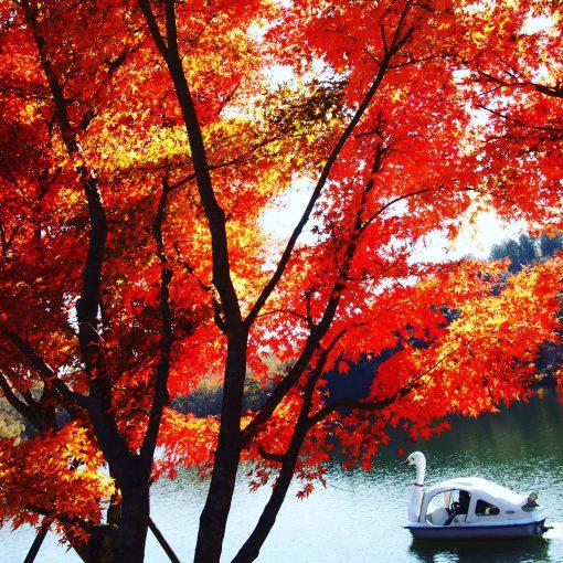 大分志高湖の紅葉とあひるボート