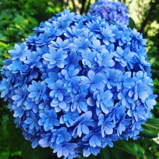 宮崎県門川町桃源郷岬 青い紫陽花