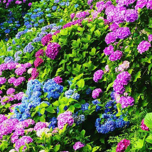 宮崎県桃源郷岬の紫陽花